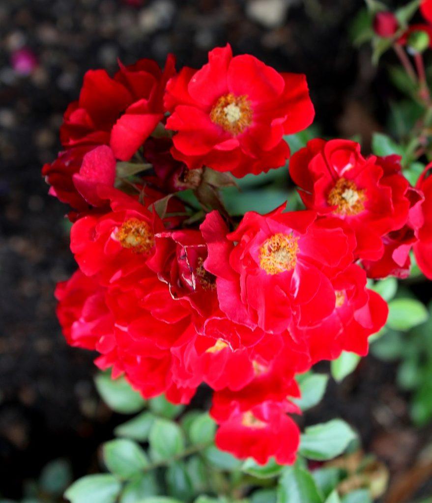 Bodendecker Rosen Bodendeckerrosen Garten Wissen