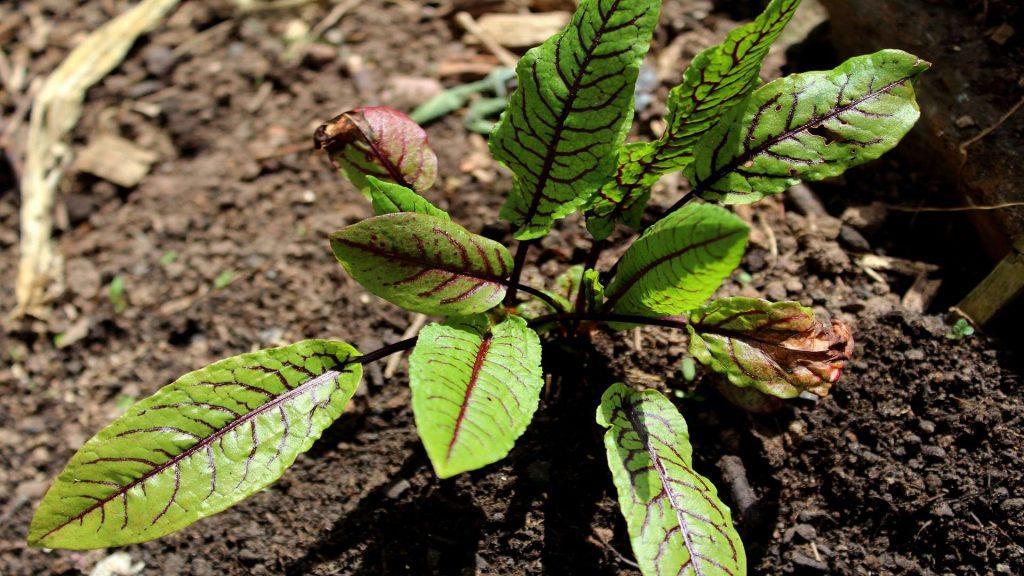 Außergewöhnlich Sauerampfer (Rumex acetosa) | Sauerampfer | Garten Wissen @YZ_01