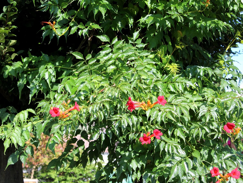 Trompetenblume k1