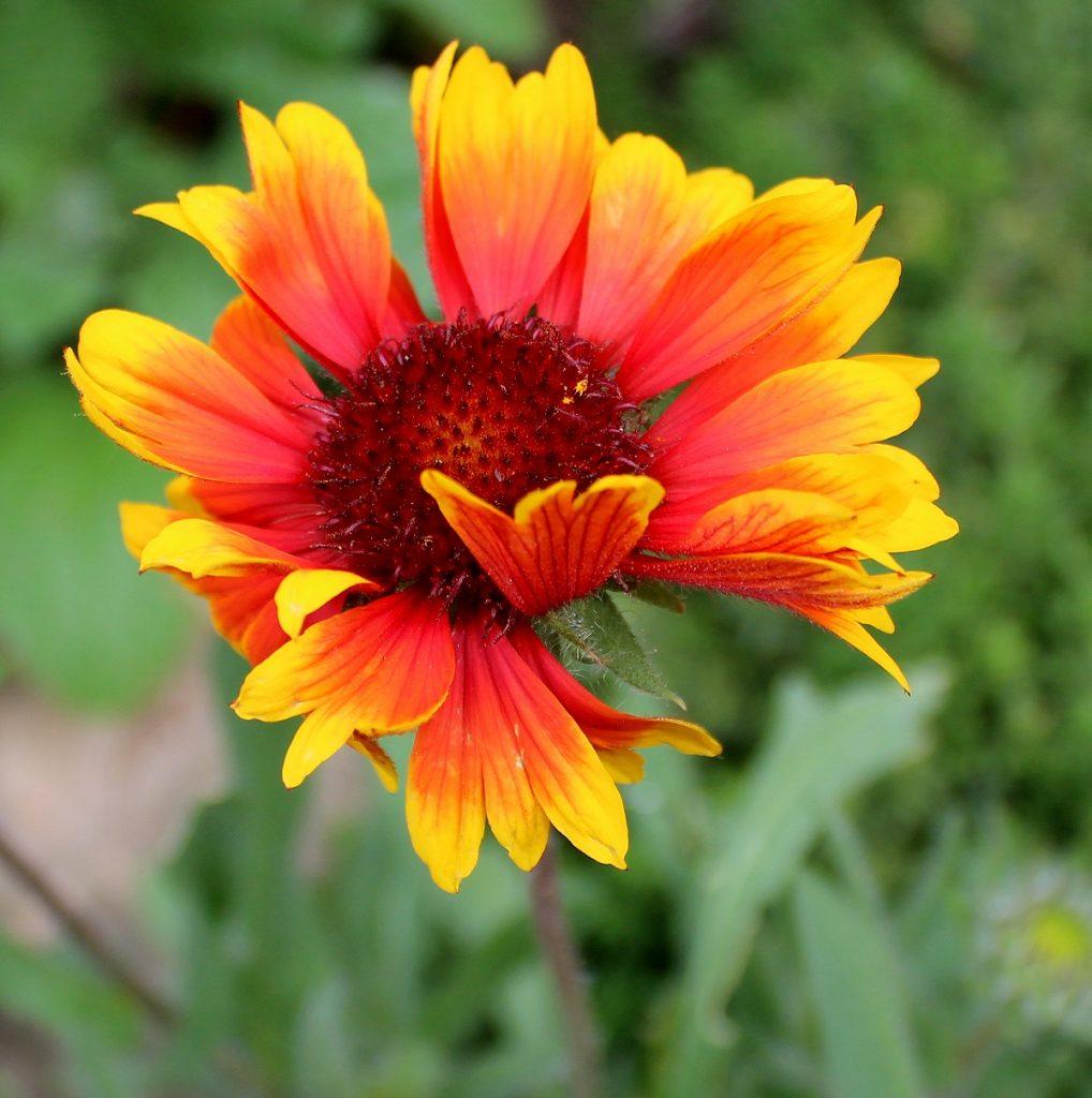 Wissen Garten: Kokardenblume (Gaillardia Pulchella)