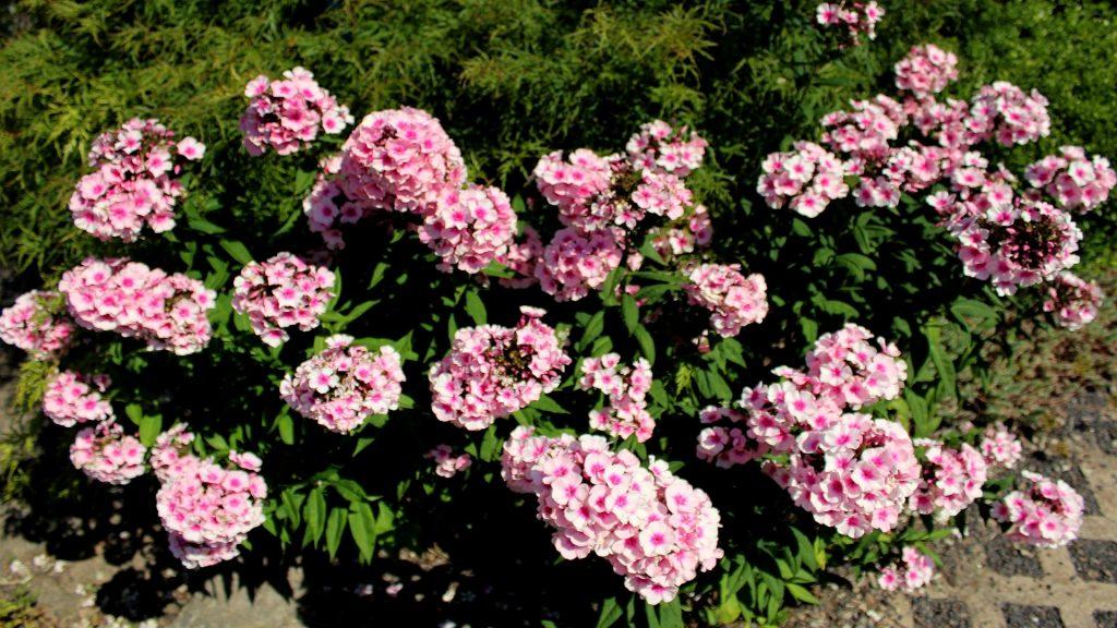Hoher Staudenphlox Phlox Paniculata Phlox Garten Wissen