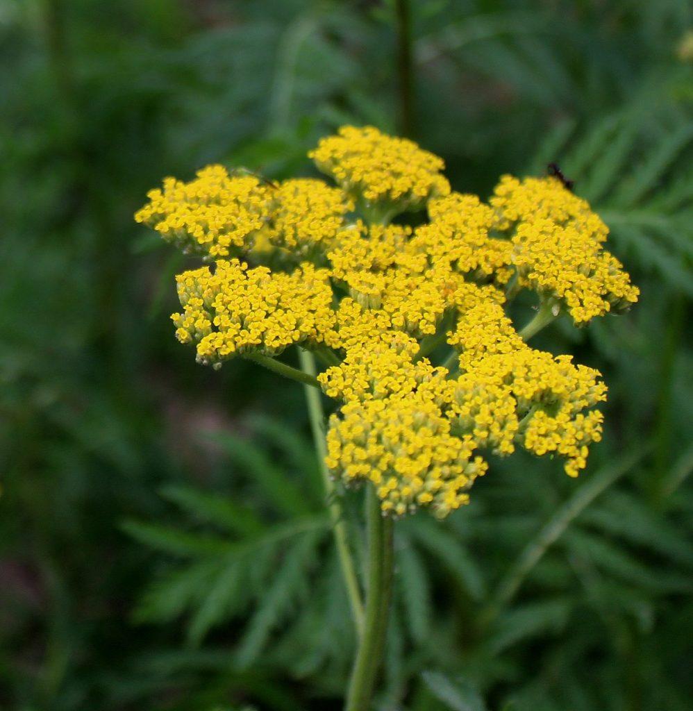 Wissen Garten: Goldgarbe (Achillea Filipendulina)