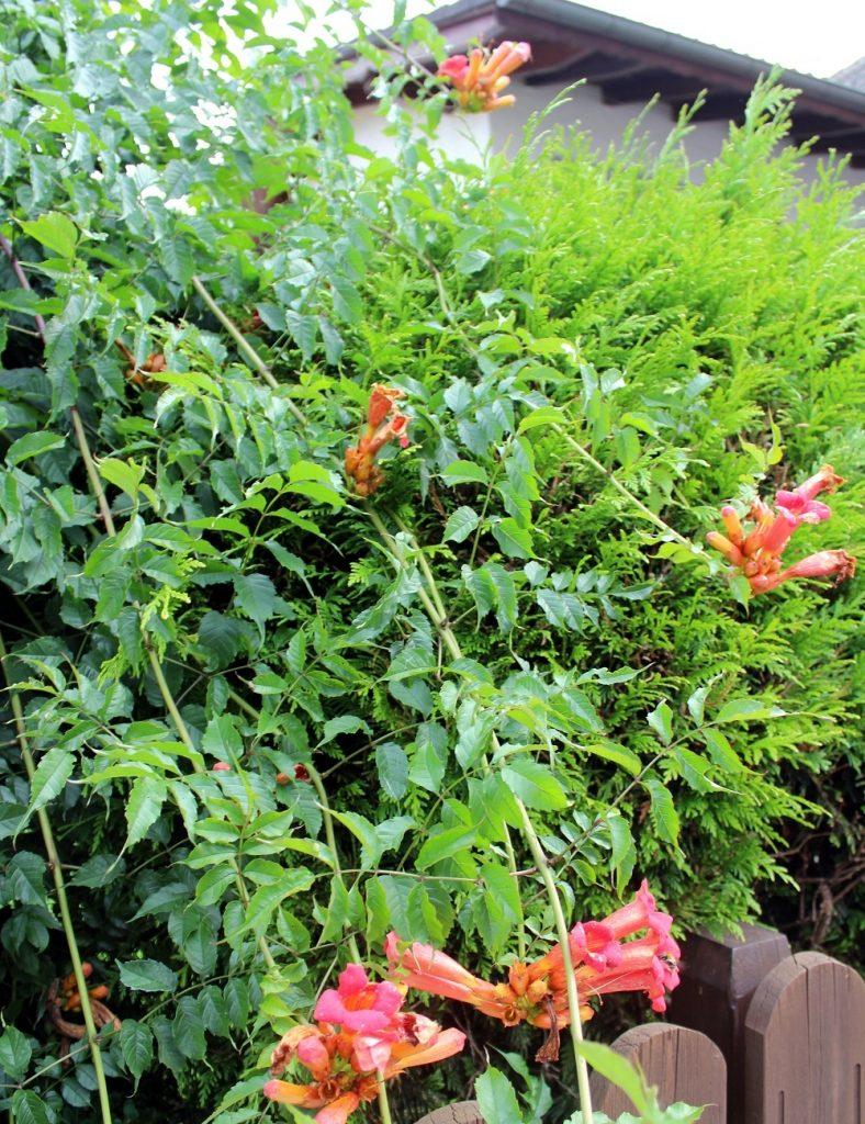 Top Trompetenblume oder Jasmintrompete | Garten Wissen &LR_74