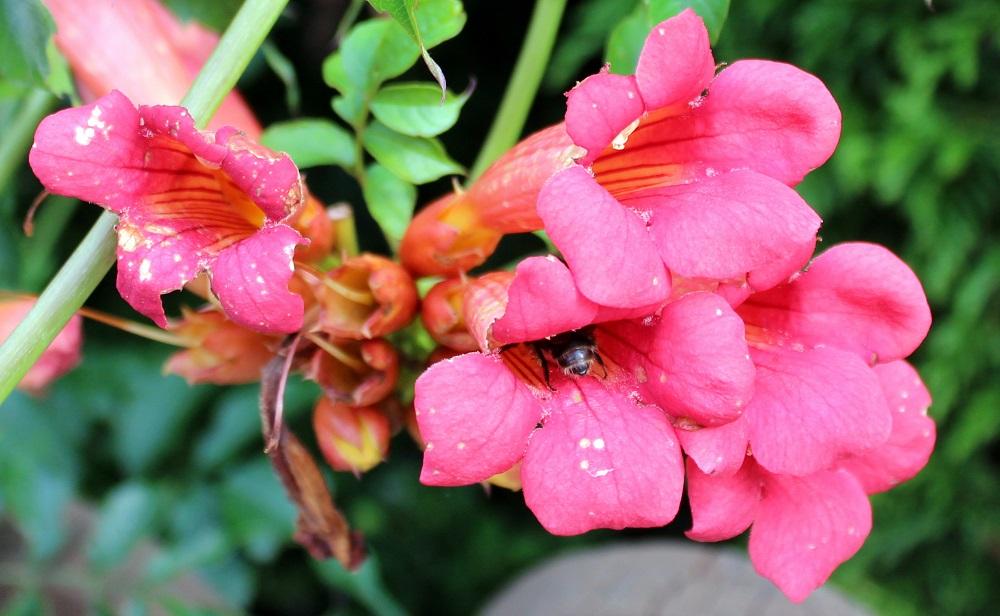 Außergewöhnlich Trompetenblume oder Jasmintrompete | Garten Wissen #UW_21