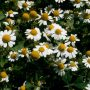 Blütenköpfe der Echten Kamille