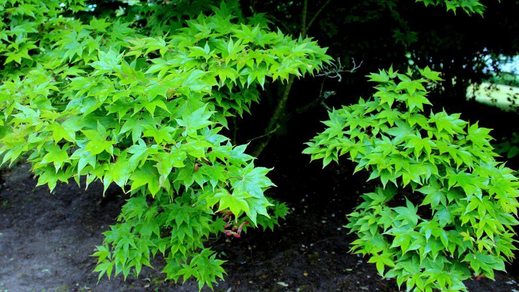 Japanischer ahorn acer japonicum garten wissen - Pflanzen japanischer garten ...
