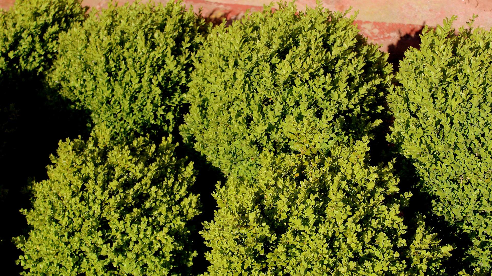 buchs (buxus sempervirens) | | garten wissen