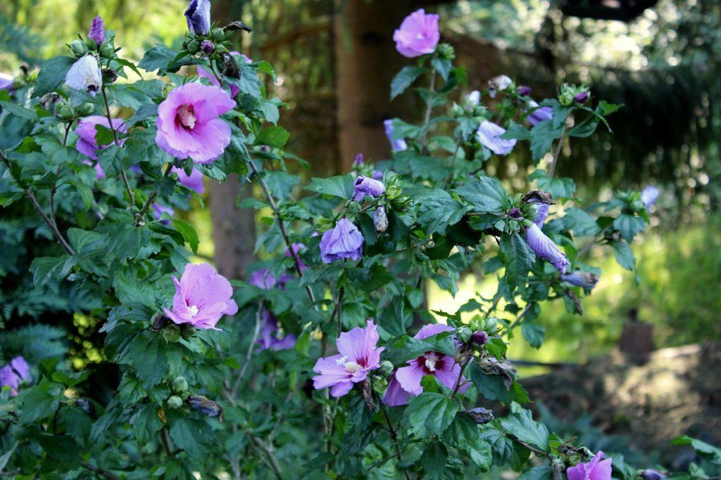 Garten Hibiskus Hibiscus Syriacus Hibiscus Garten Wissen