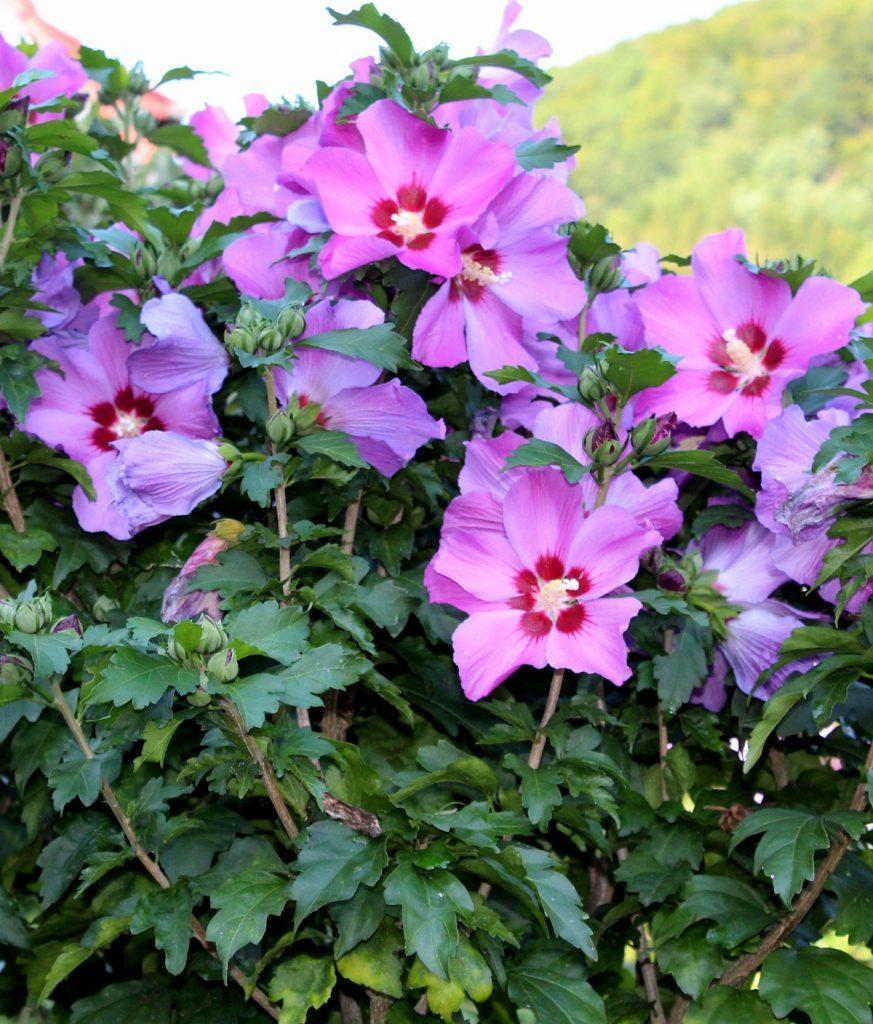 garten hibiskus hibiscus syriacus hibiscus garten wissen. Black Bedroom Furniture Sets. Home Design Ideas