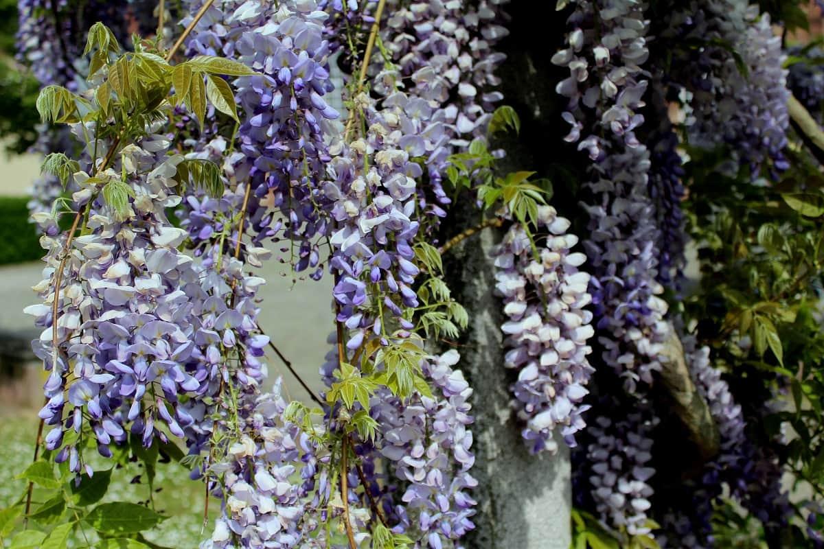 Blüten der Langtraubigen Glyzine