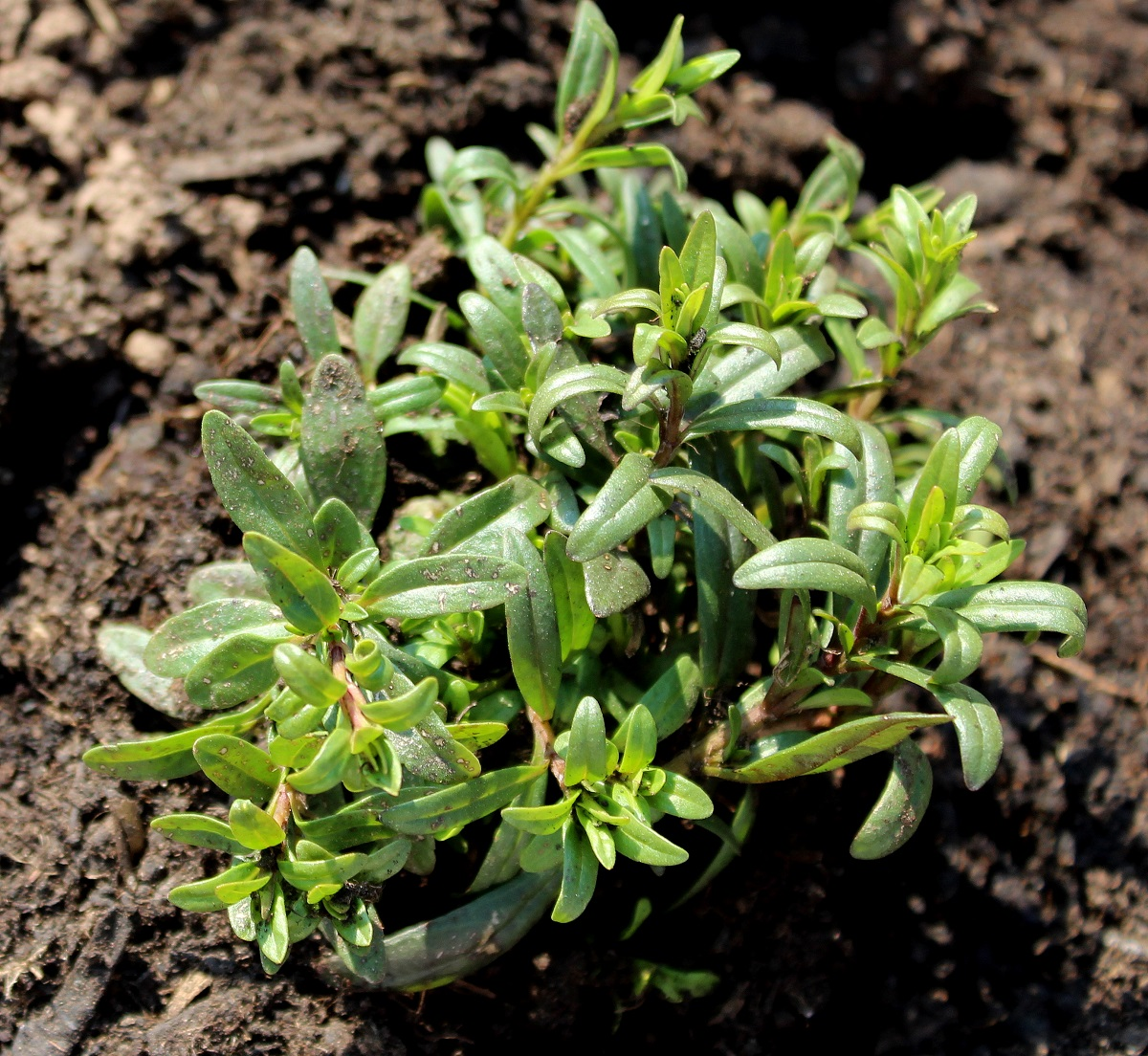 Wissen Garten: Enzianblauer Steinsame (Lithodora Diffusa)