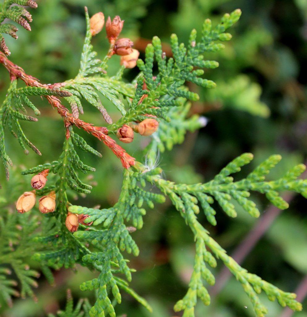 Wissen Garten: Abendländischer Lebensbaum