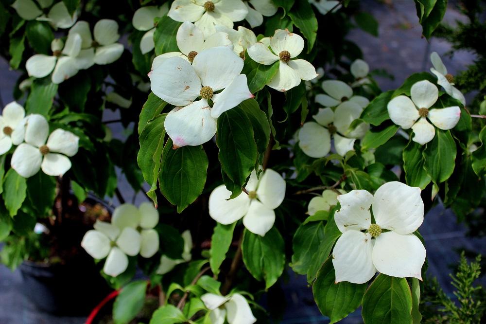 Japanischer Blumenhartriegel (Cornus kousa) | Garten Wissen