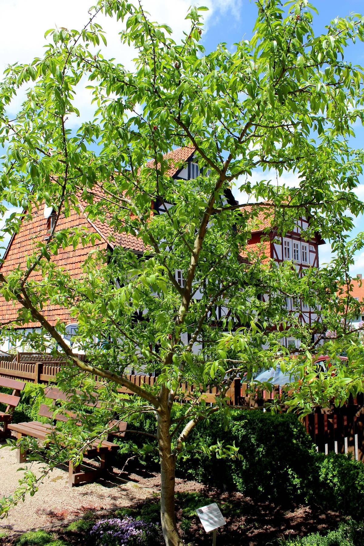 mandelbaum prunus dulcis mandelb ume garten wissen. Black Bedroom Furniture Sets. Home Design Ideas