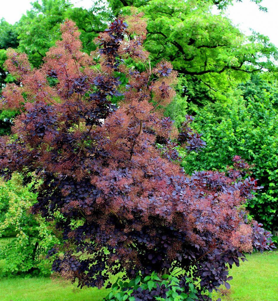 Wissen Garten: Perückenstrauch (Cotinus Coggyrgia)