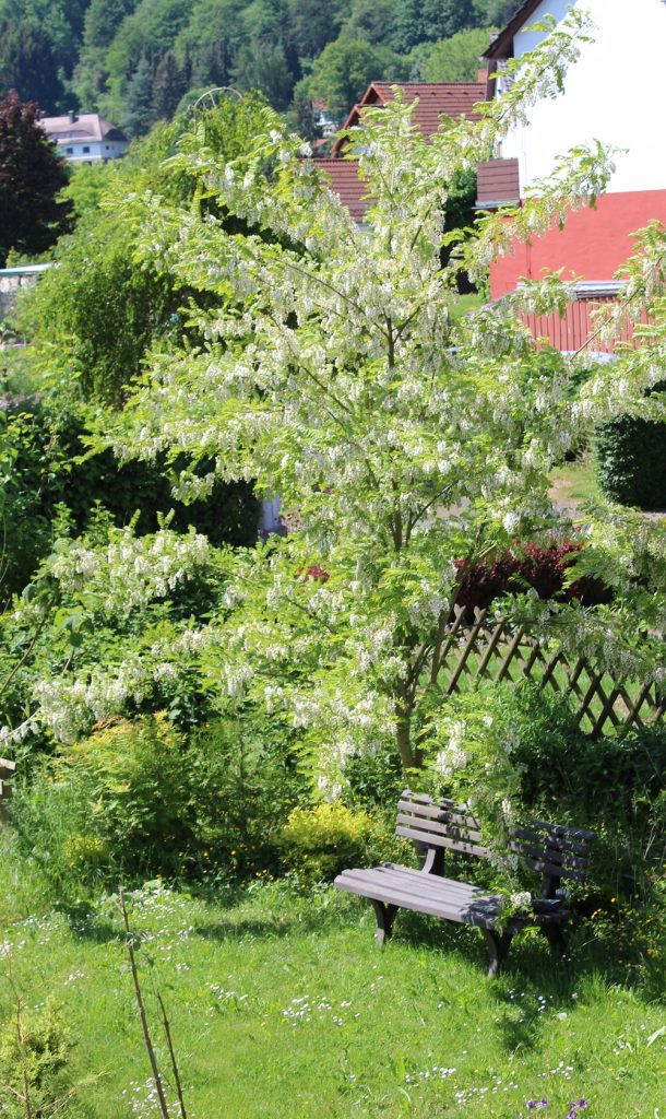 Gemeinsame Robinie (Robinia pseudoacacia) | Robinien | Garten Wissen #MJ_18