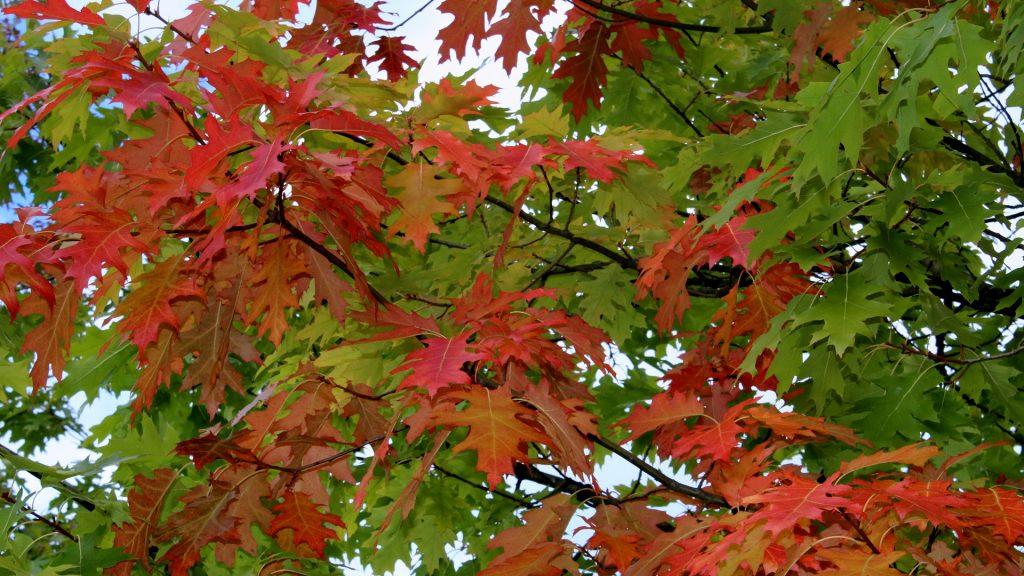 Roteiche Quercus Rubra Eichen Garten Wissen