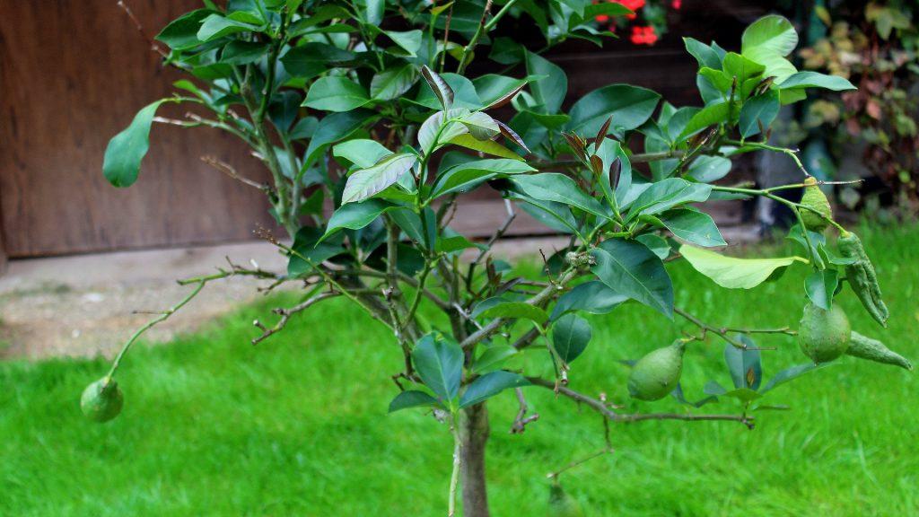 Geliebte Zitronenbaum (Citrus x limon) | Zitrusbäume | Garten Wissen #SV_53