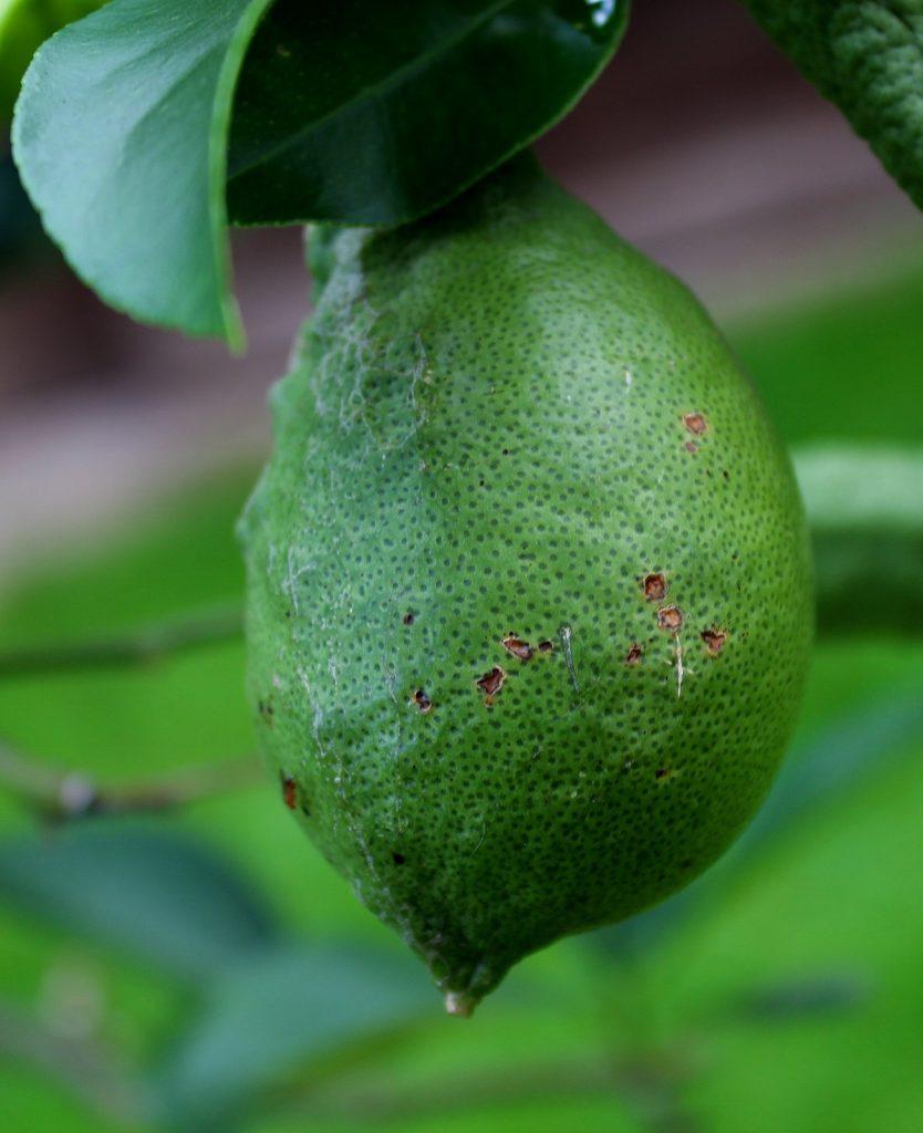 Wissen Garten: Zitronenbaum (Citrus X Limon)