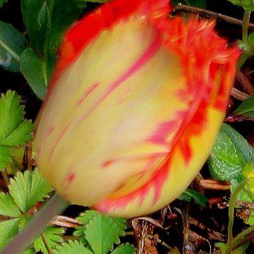 Fransenblütige Tulpe
