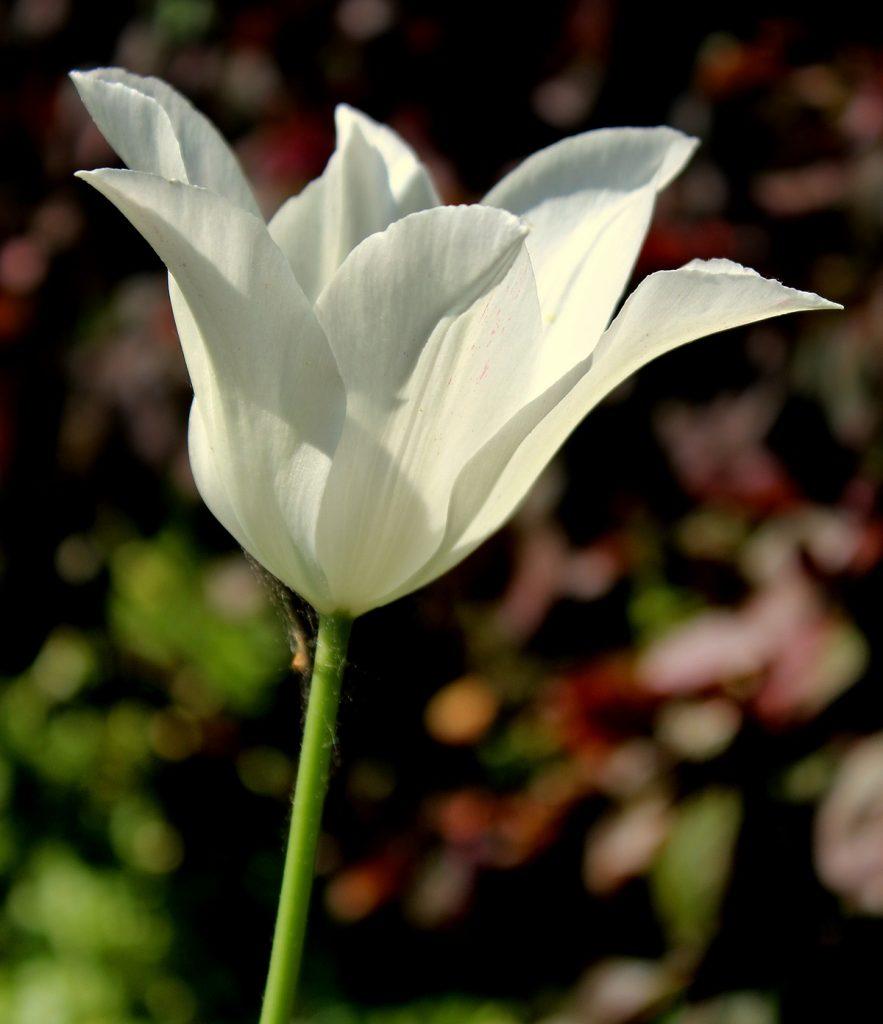 Wissen Garten: Lilienblütige Tulpen