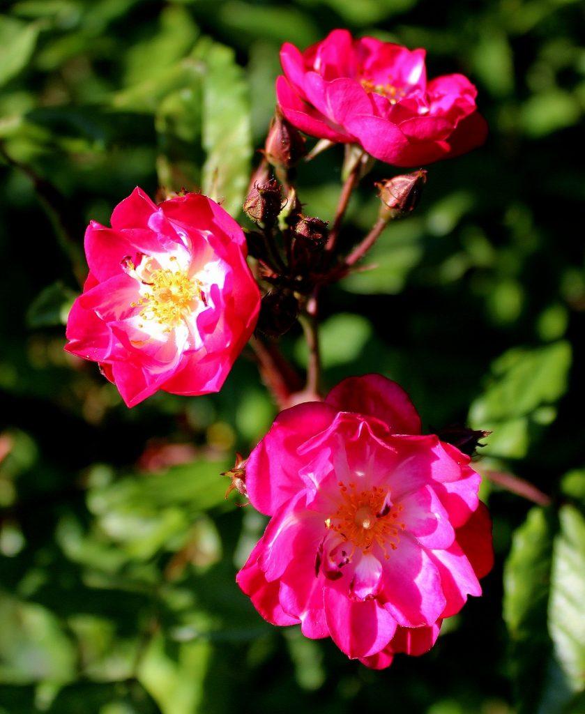 hoheneiche rosengarten complicata b