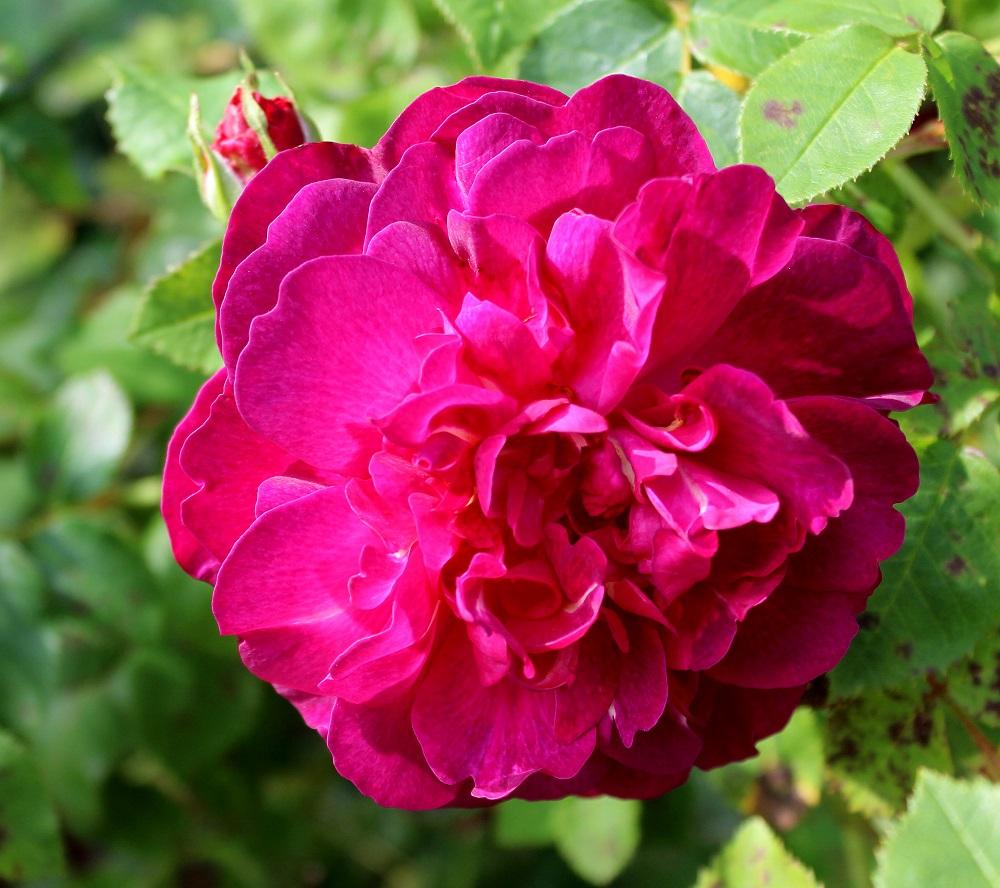 englische rosen englische rosen garten wissen. Black Bedroom Furniture Sets. Home Design Ideas