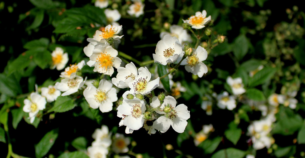Klettergerüst Rosen : Übersicht rosen garten wissen