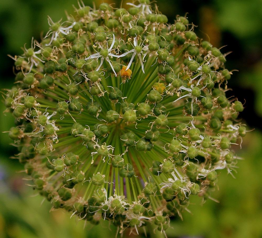 Wissen Garten: Laucharten Der Gattung Allium Im Überblick