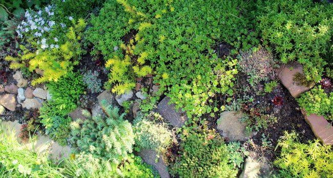 Steingarten mit Crassulaceen