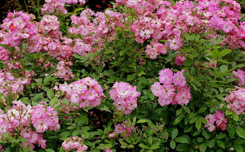 Klettergerüst Rosen : Klassifizierung der rosen garten wissen