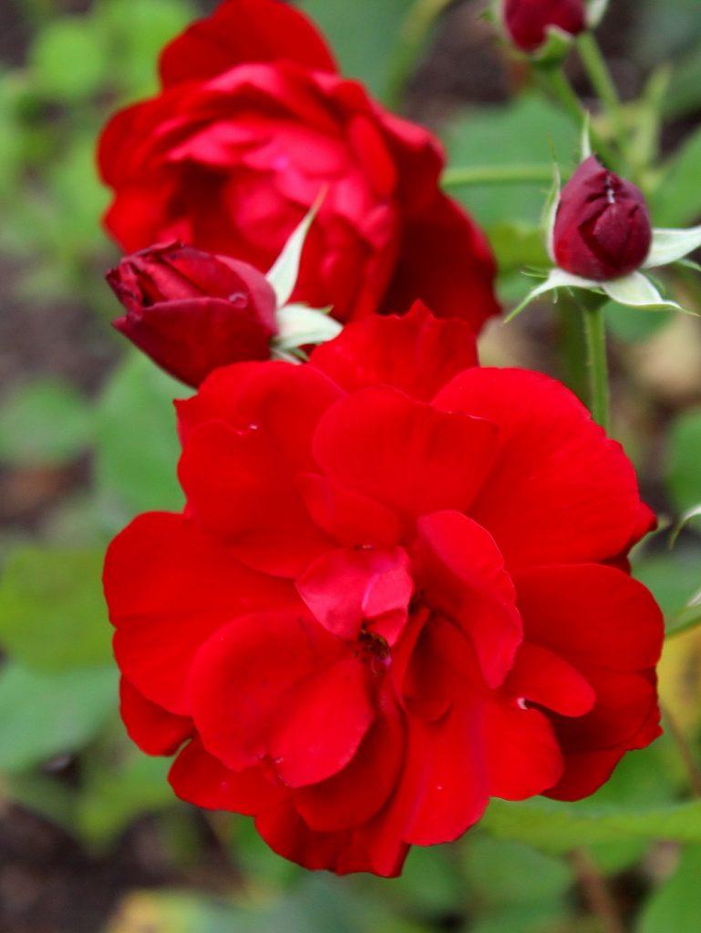 "Floribunda-Rose ""Lili Marleen"""