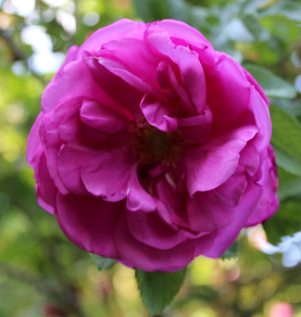 Wissen Garten: Übersicht Rosen