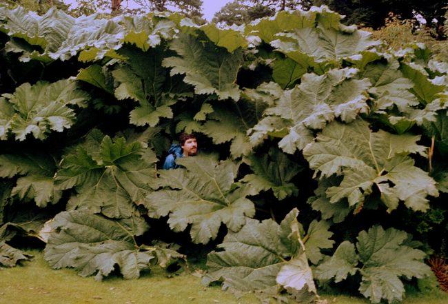 muckross-gardens-riesen-mammutblatt_b