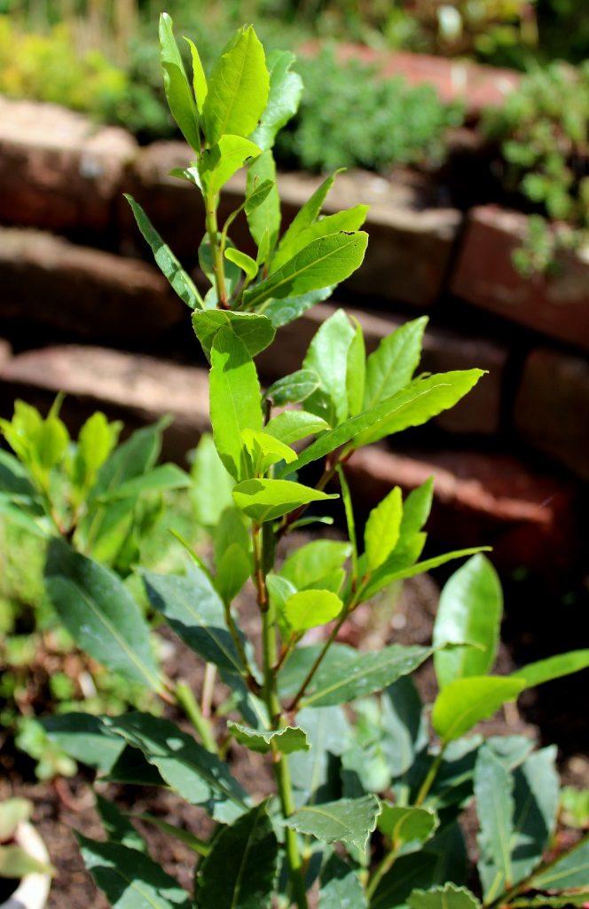 Prächtig Lorbeer (Laurus nobilis) | Garten Wissen &IM_56