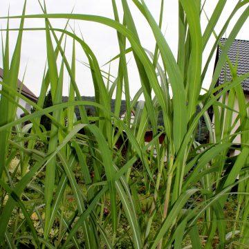china schilf miscanthus sinensis garten wissen. Black Bedroom Furniture Sets. Home Design Ideas