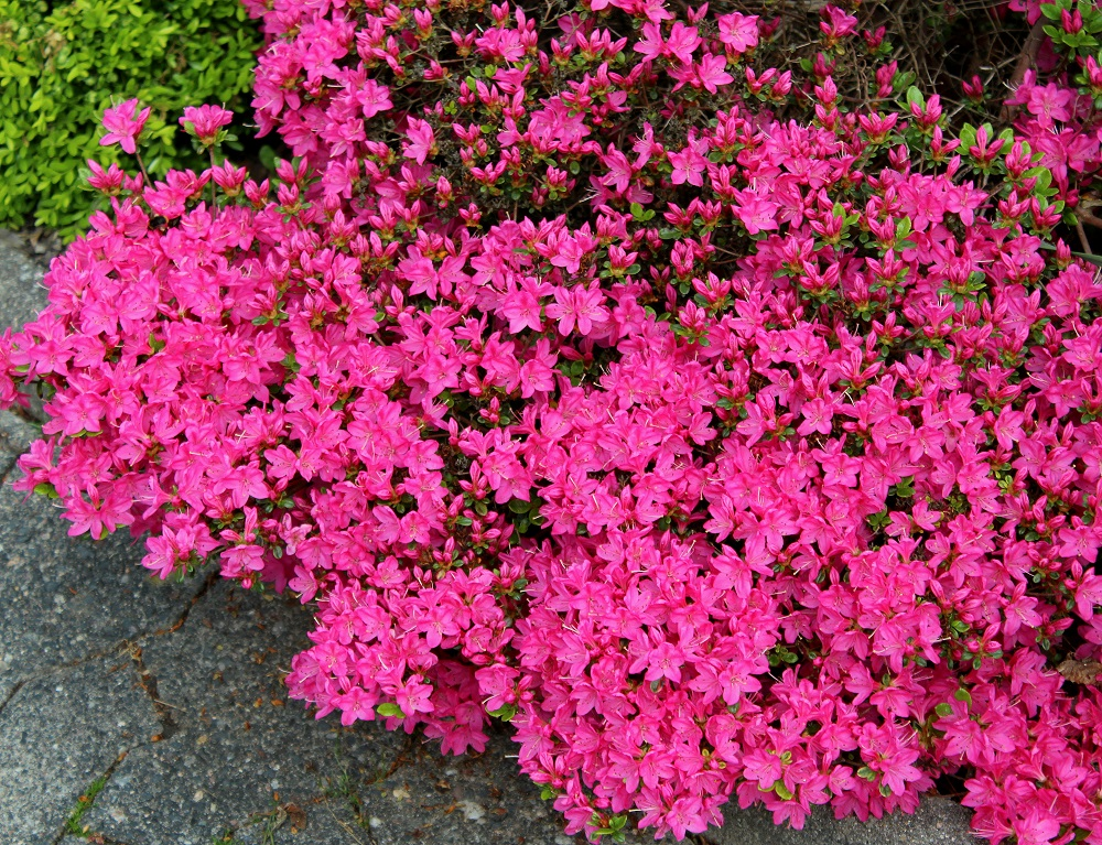 rosa bis purpurrot bl hende rhododendren garten wissen. Black Bedroom Furniture Sets. Home Design Ideas