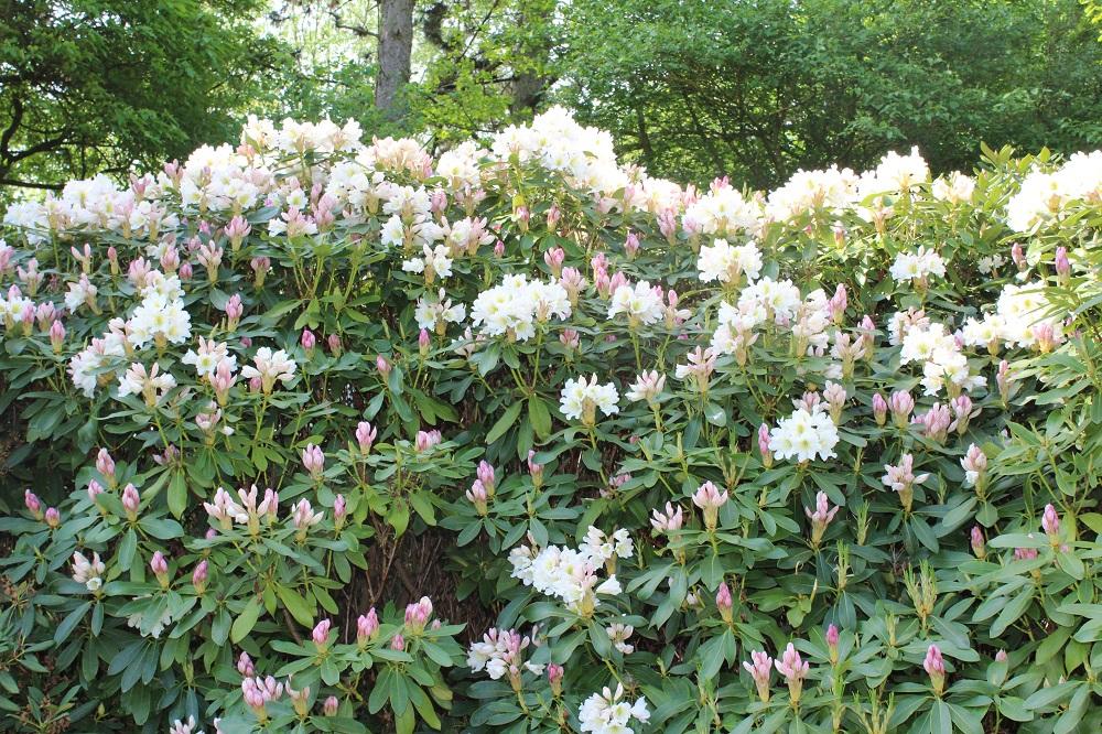 Weiß- und weiß-rosa blühende Rhododendren | Garten Wissen