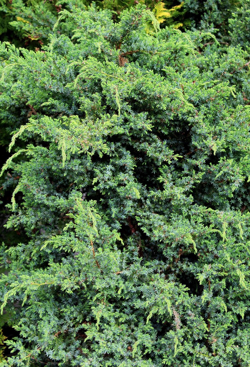 gemeiner wacholder juniperus communis garten wissen. Black Bedroom Furniture Sets. Home Design Ideas