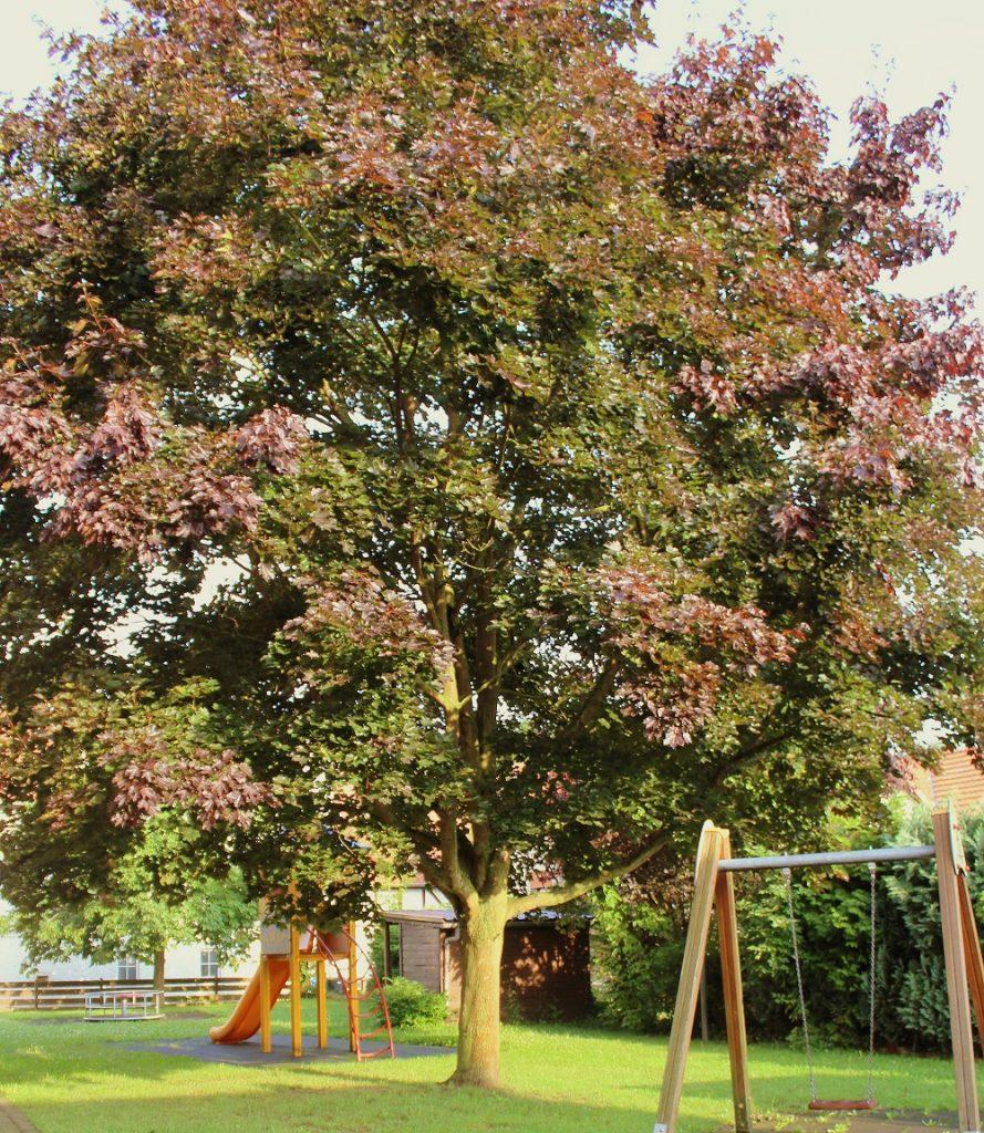Wissen Garten: Spitz-Ahorn (Acer Platanoides)