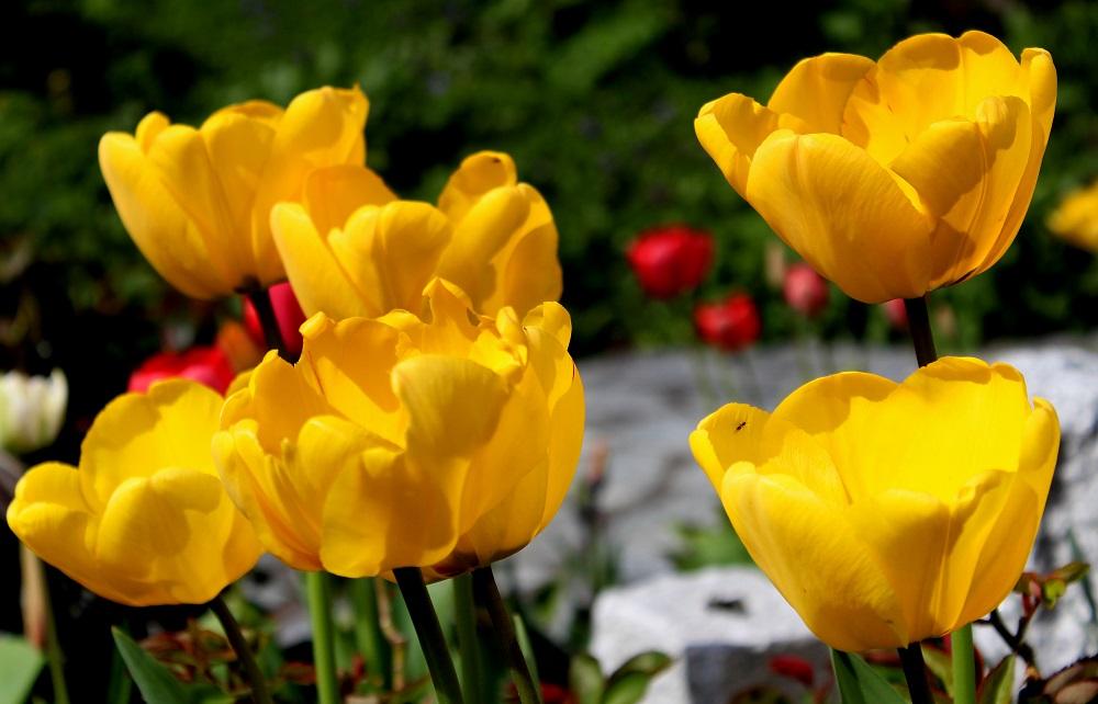 bersicht tulpen garten wissen. Black Bedroom Furniture Sets. Home Design Ideas