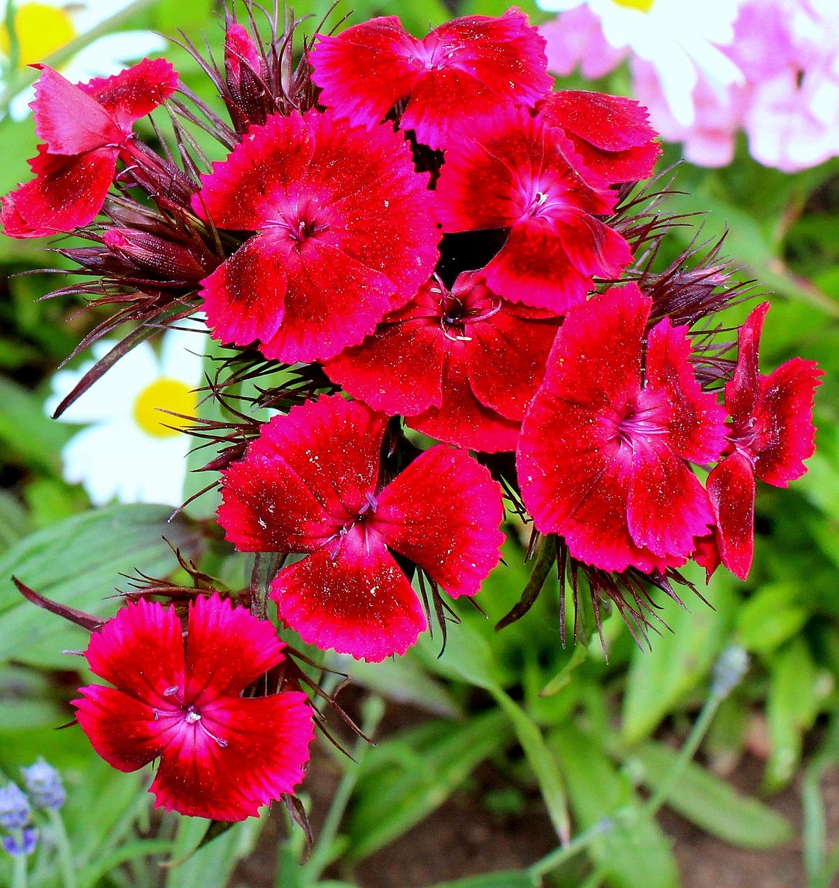 Wissen Garten: Übersicht Nelken (Sommerblüher)