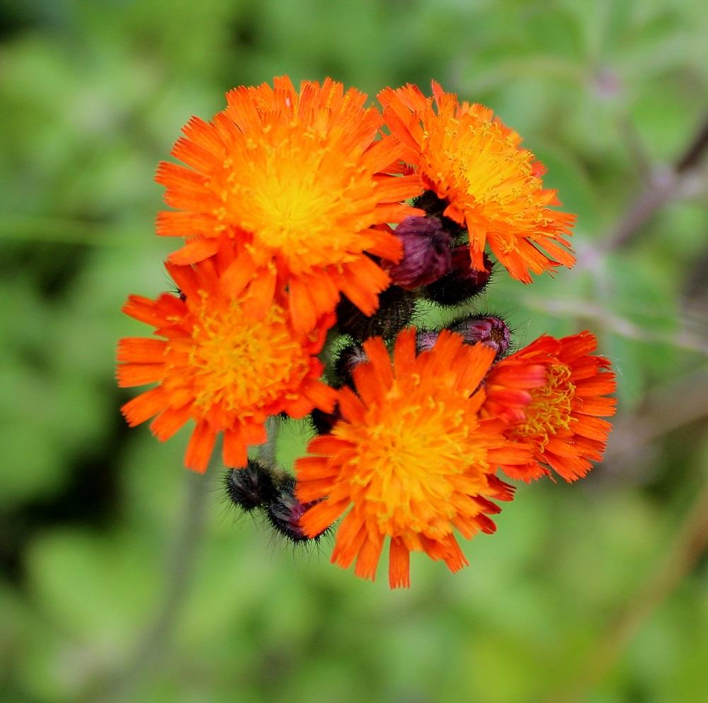 Wissen Garten: Orangerotes Habichtskraut