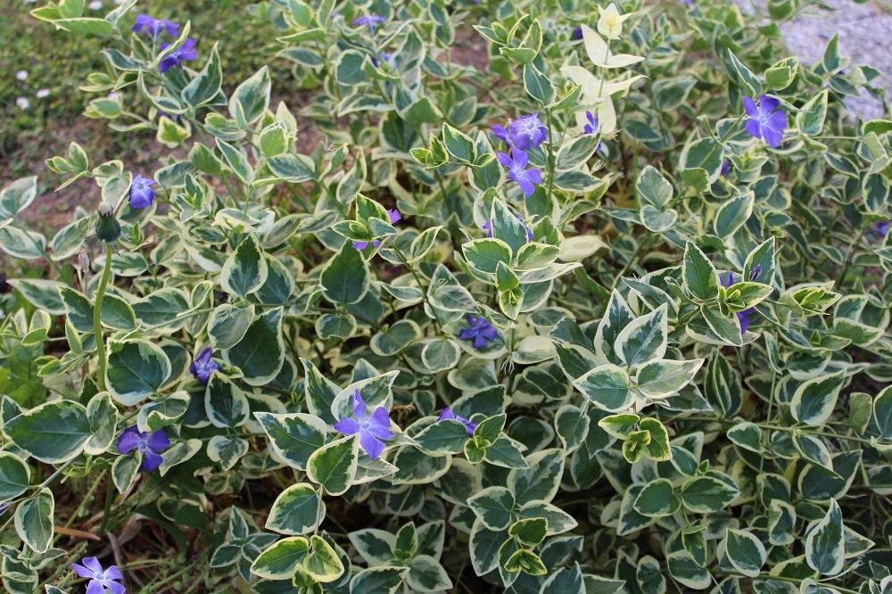 Außergewöhnlich Kleinblättriges Immergrün (Vinca minor) | Garten Wissen #OJ_64