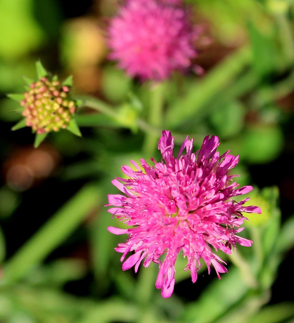 Wissen Garten: Mazedonische Witwenblume (Knautia Macedonica)