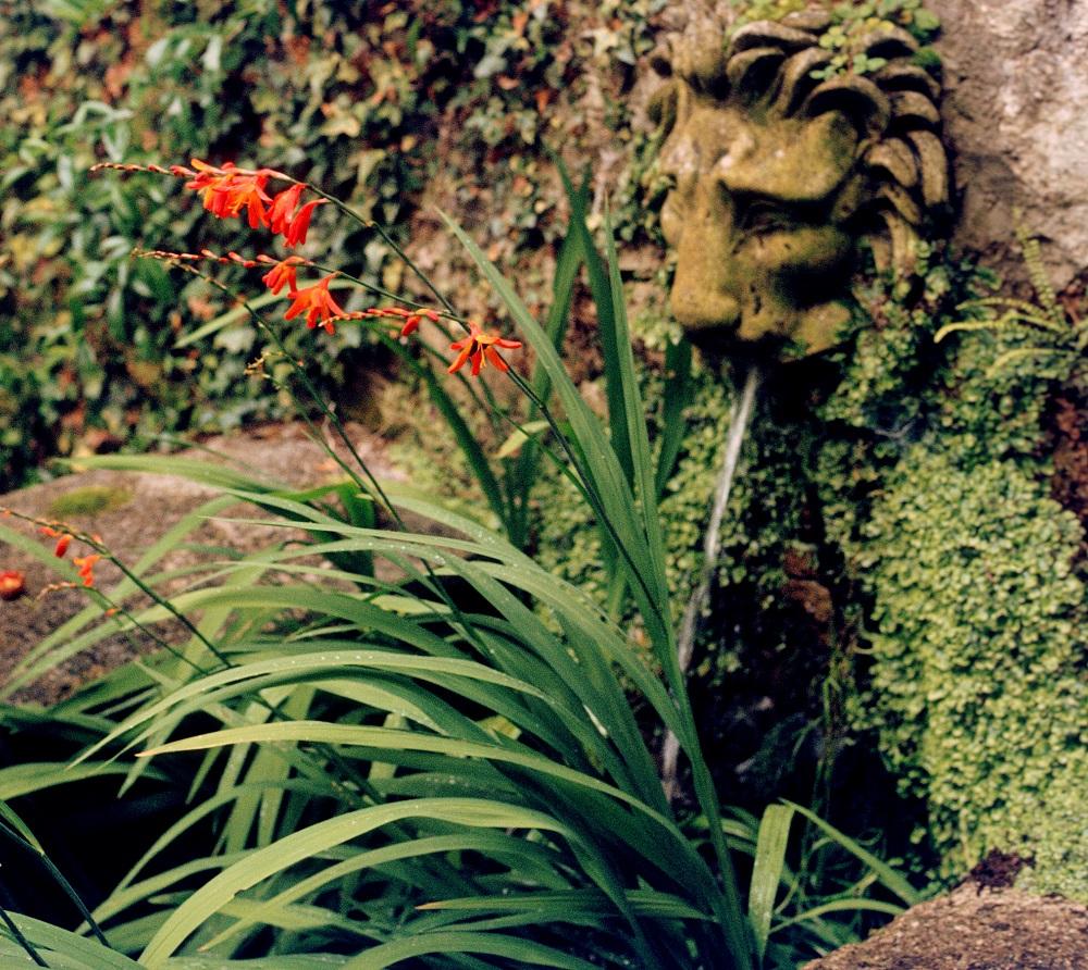 Wissen Garten: Garten-Montbretie