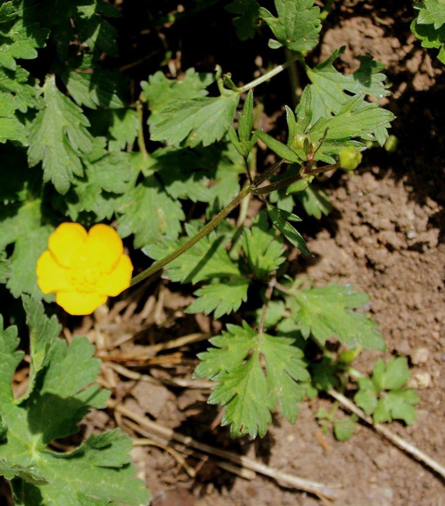 Geliebte Kriechender Hahnenfuß (Ranunculus reptans) | Garten Wissen &LK_15