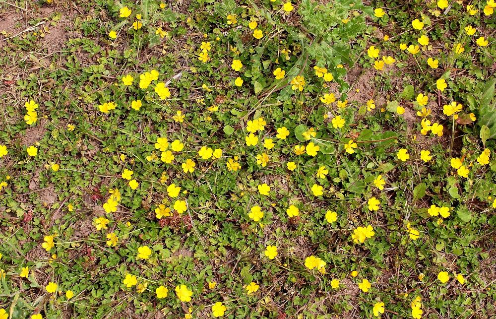 Super Kriechender Hahnenfuß (Ranunculus reptans) | Garten Wissen @QV_36