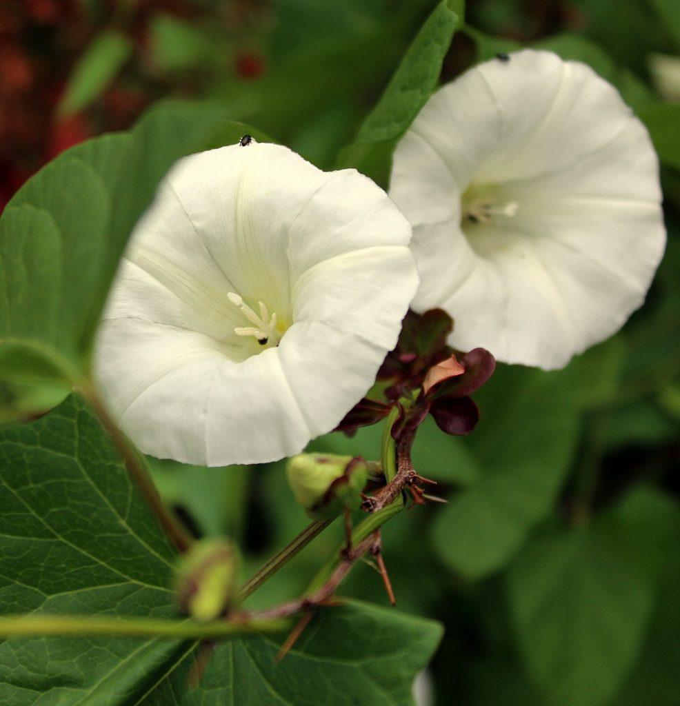 Wissen Garten: Zaunwinde (Calystegia Sepium)