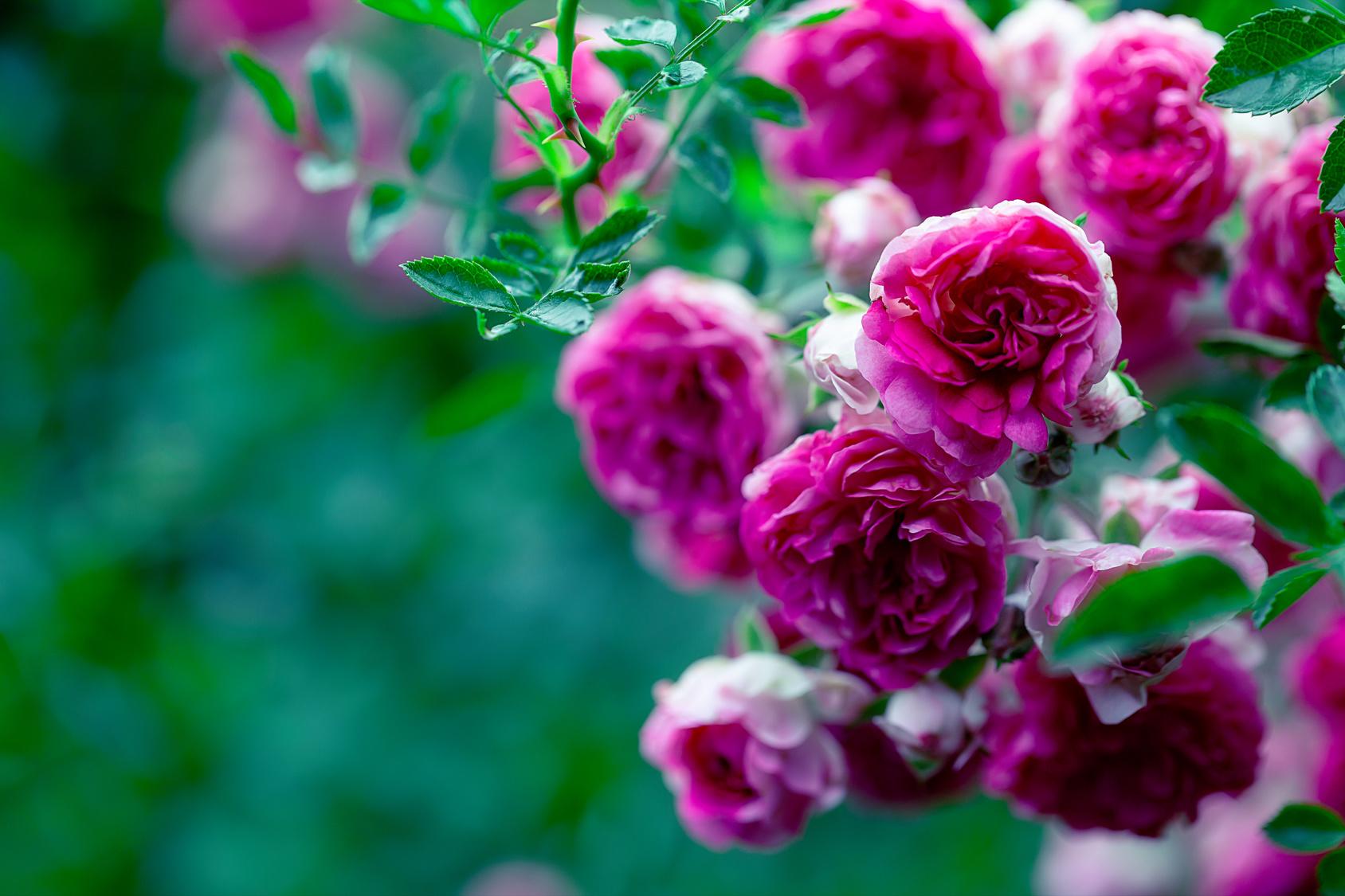 Rosen im Kleingarten